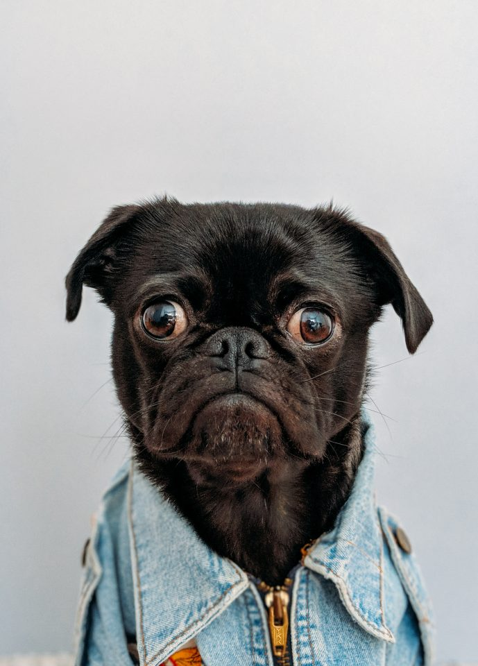 Image of a pug wearing clothes