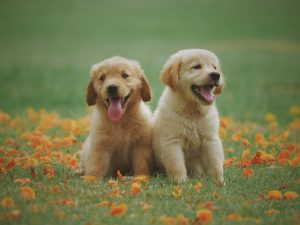 Two yellow puppies sitting in the grass
