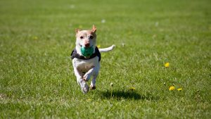 A dog running in the park