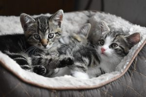 Two beautiful kittens in a pet bed